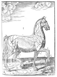 Horse_musculature
