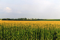 Iowacorn_1
